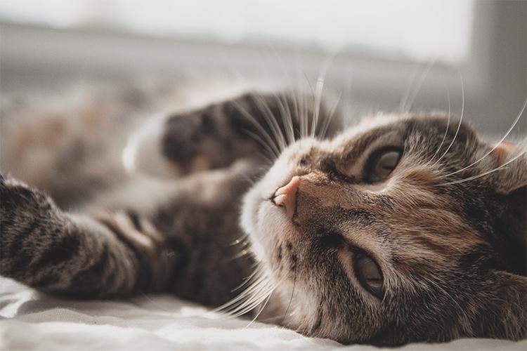 寝転ぶネコの写真